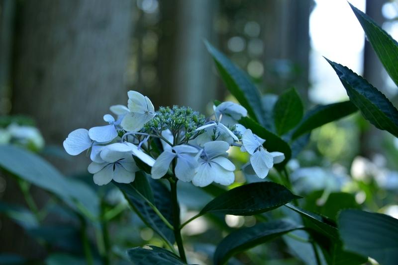 林の中の紫陽花-1