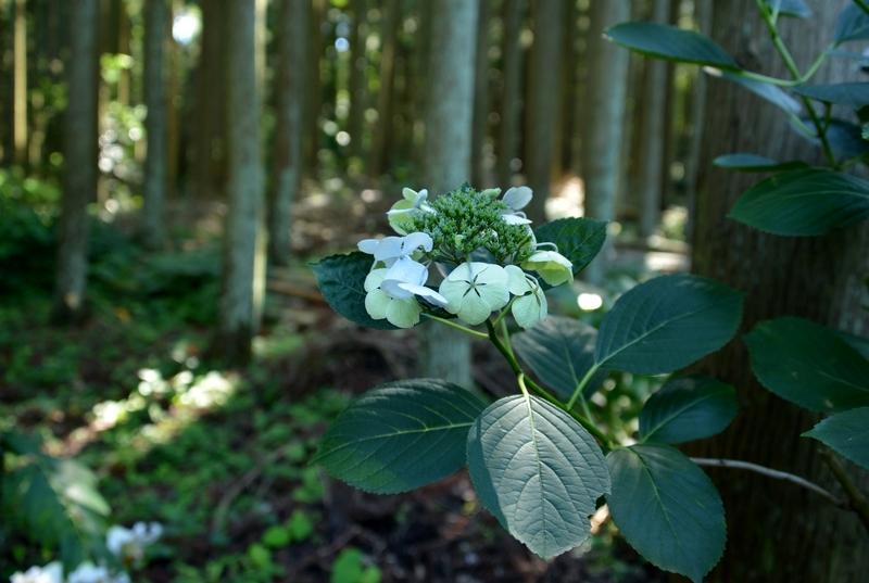林の中の紫陽花-4