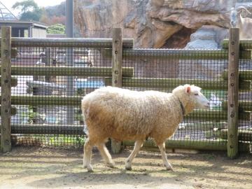 到津の森公園、羊