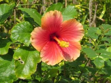 ハイビスカスが咲いてました