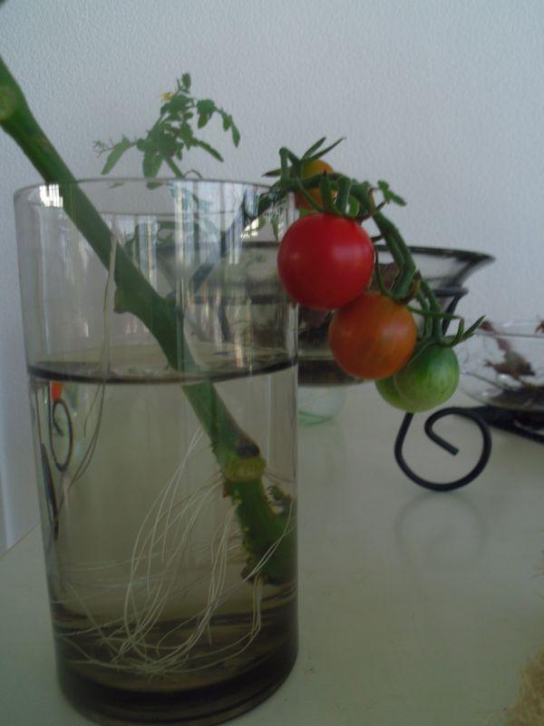 tomato_20150711022633b73.jpg