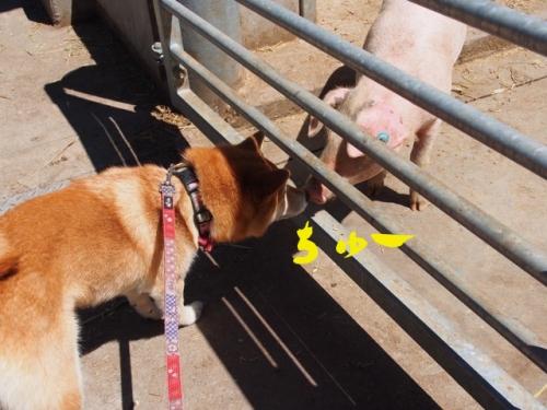 豚と鼻ちゅー