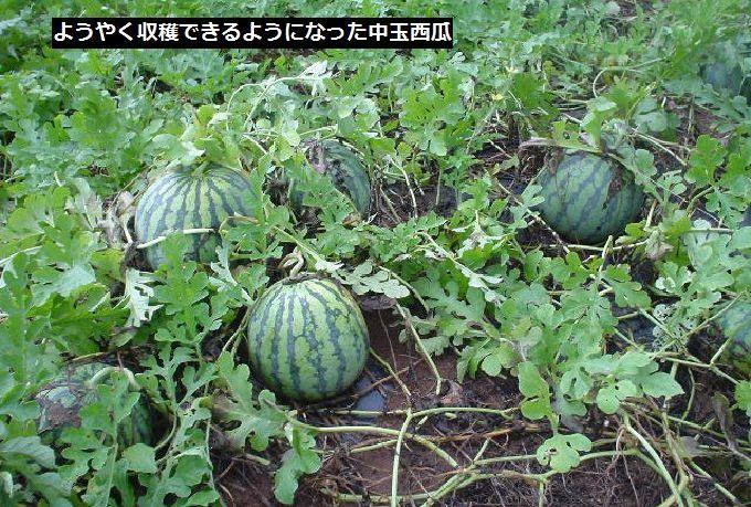 中玉西瓜収穫