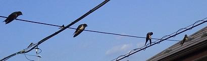 P1011651燕雛巣立ち2