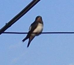 P1011653 燕雛巣立ち