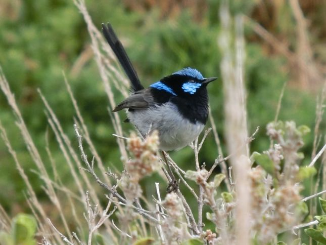 6:15SuperbFairyWren♂