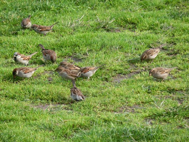 6:15House Sparrow2