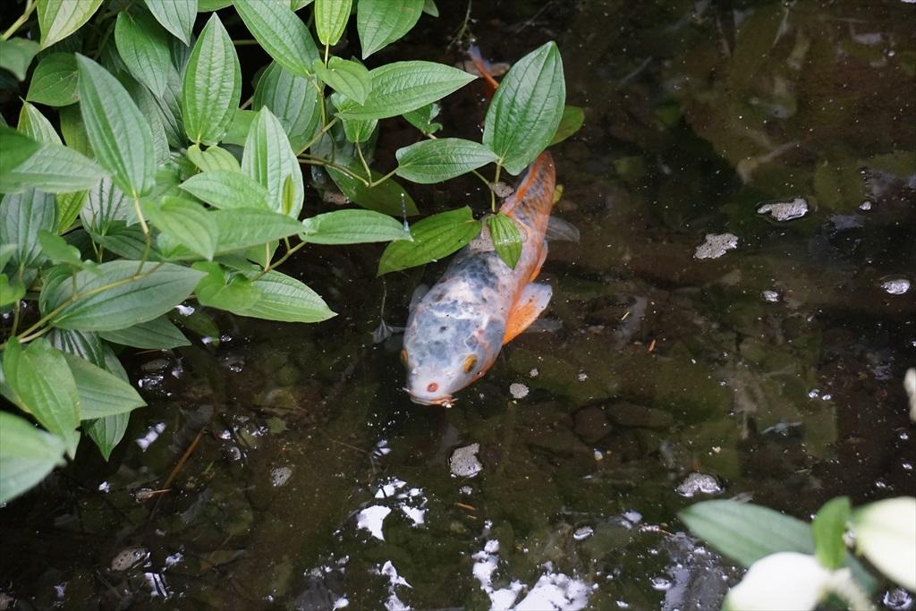 鯉は気持ち良さ気かな_1