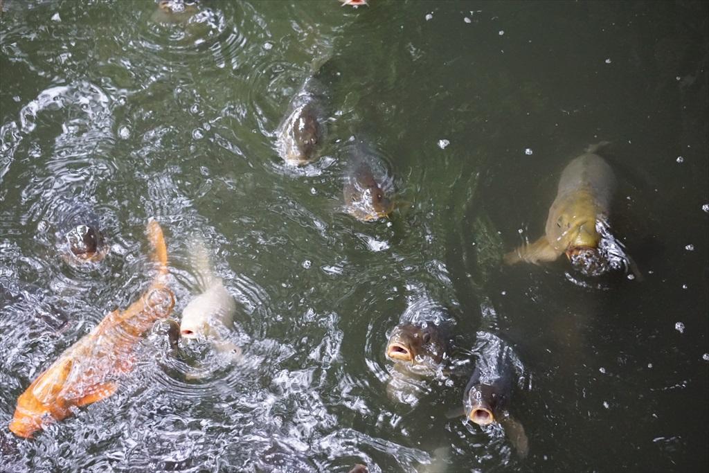 水辺を歩いただけで鯉たちが餌を期待して_1