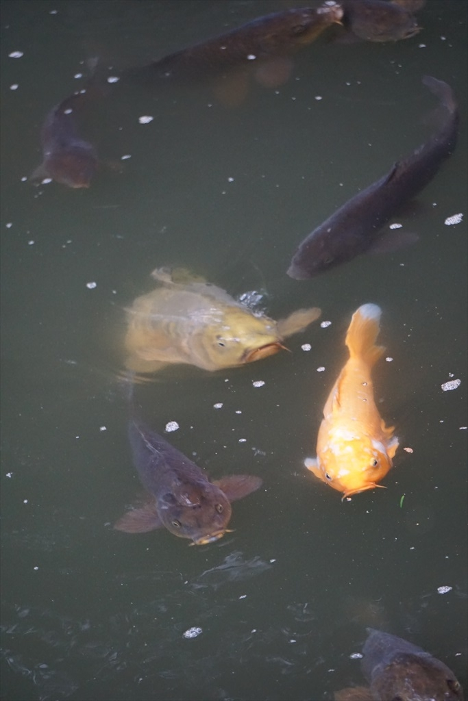 水辺を歩いただけで鯉たちが餌を期待して_2