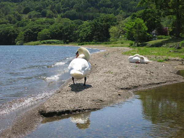 洞爺湖 曙公園キャンプ場 白鳥