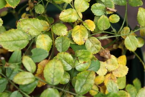 葉ダニの葉っぱ2