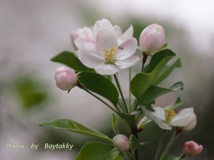 #378  姫リンゴ