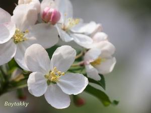 #379  姫リンゴ