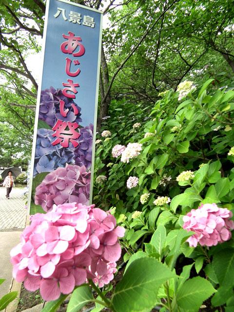 2015年 八景島シーパラダイスの紫陽花(1)