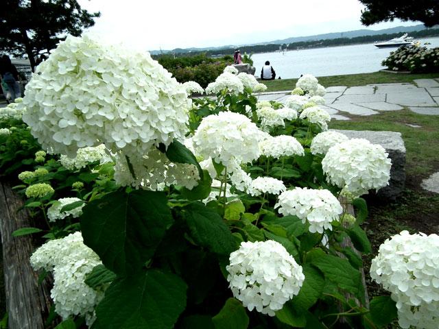 2015年 八景島シーパラダイスの紫陽花(5)