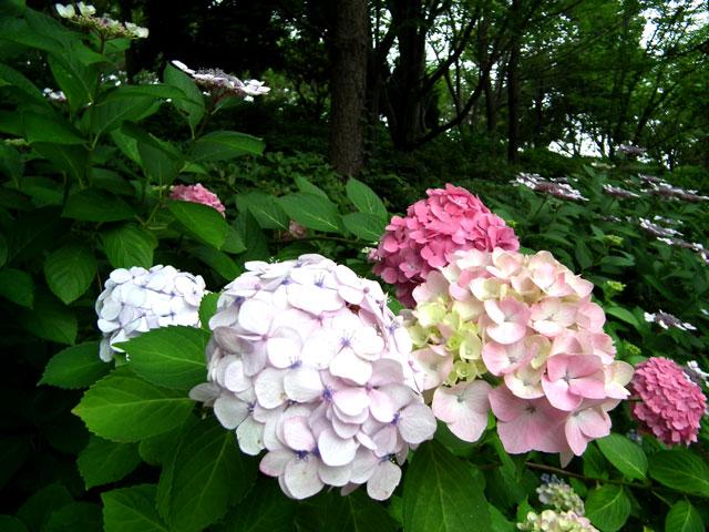 2015年 八景島シーパラダイスの紫陽花(10)