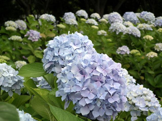 2015年 八景島シーパラダイスの紫陽花(11)