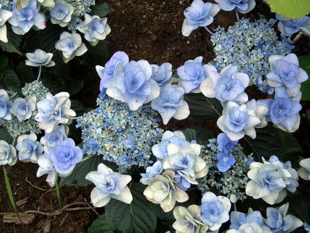 2015年 八景島シーパラダイスの紫陽花(13)