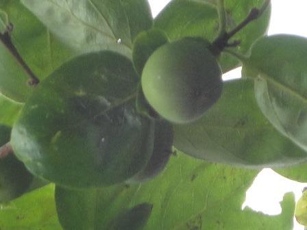 柿の実の子供!?