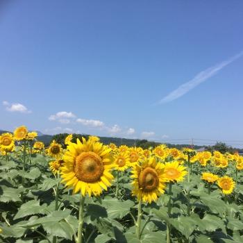 佐知の向日葵