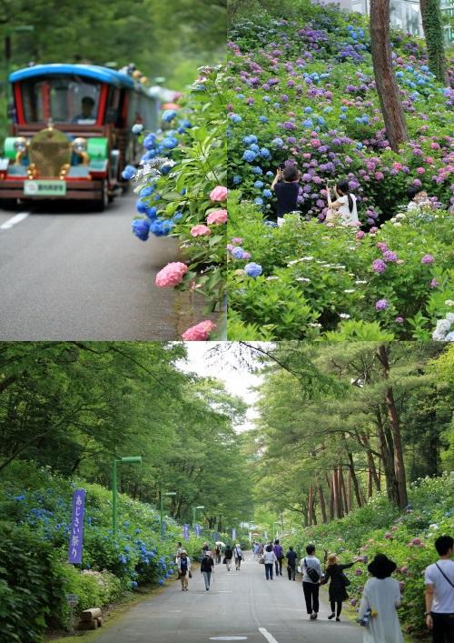 taikouyama ajisai 3