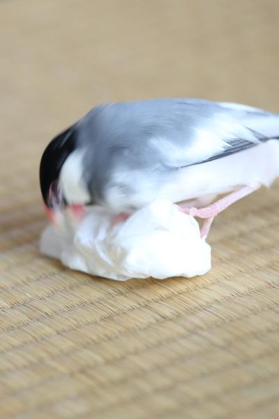 tishu de asobu kosifuri (1)