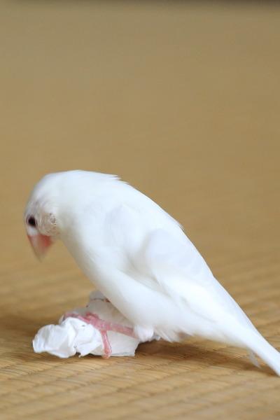 tishu de asobu kosifuri (4)