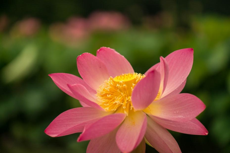 2015.07.07南条の花ハス1
