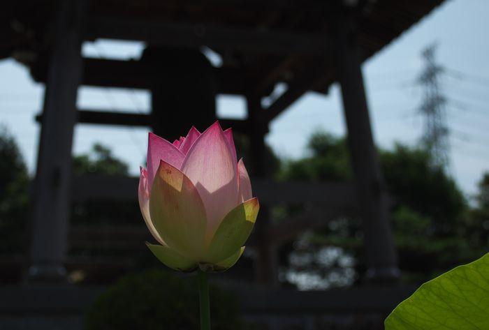 15-7-11-1長源寺のハス1