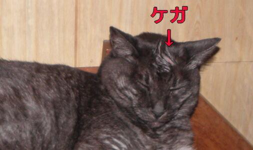 怪我した猫
