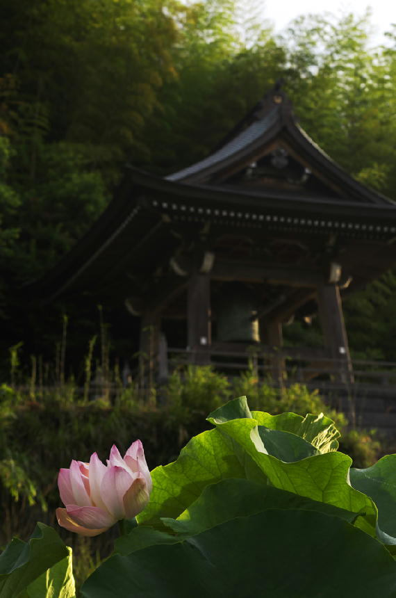 連興寺の蓮-309