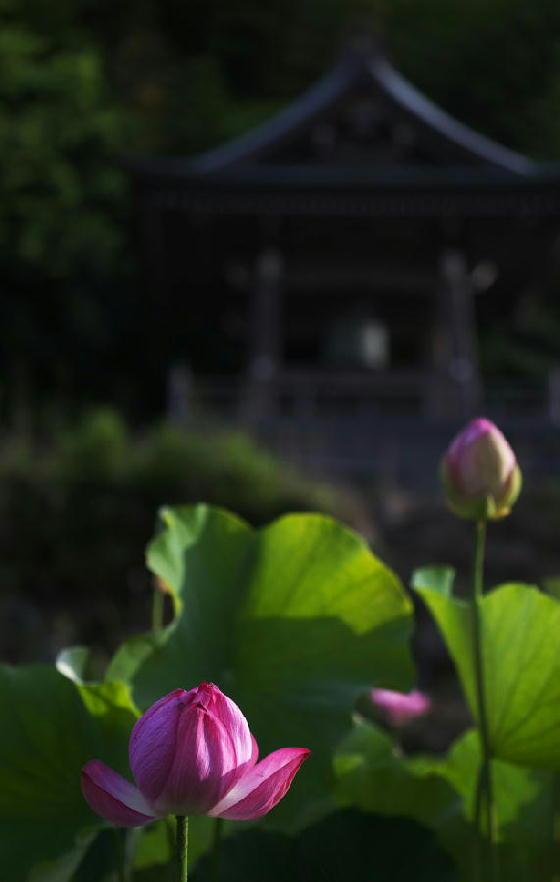 連興寺の蓮-342-1