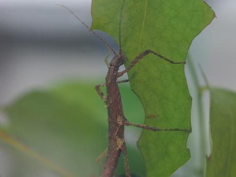 トゲナナフシ幼虫