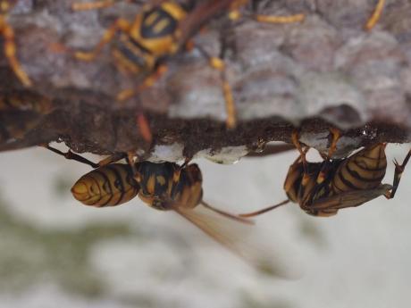 セグロアシナガバチ&巣3