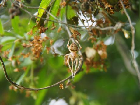 オニグモの一種脱皮