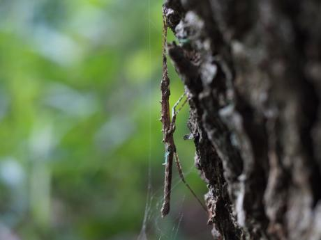 トゲナナフシ幼虫2