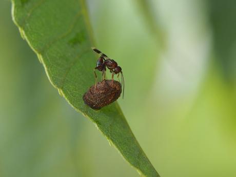 ハムシ幼虫&寄生バチ