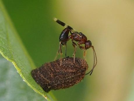 ハムシ幼虫&寄生バチ2