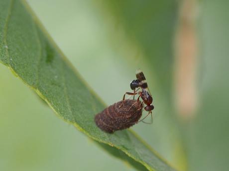 ハムシ幼虫&寄生バチ3