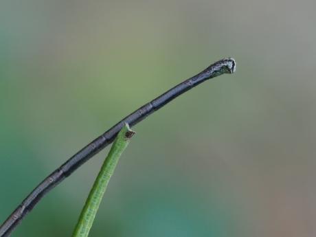 シャクガ幼虫2種