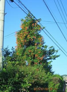 ノーゼンカヅラの木登り