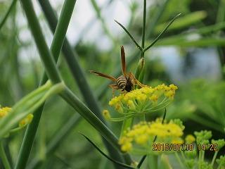 ウイキョウと蜂