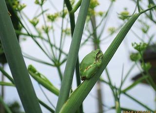 蛙とウイキョウ