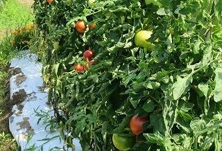 トマト完熟