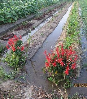 溝灌漑採用