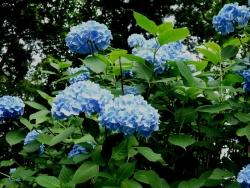 20150612_紫陽花2