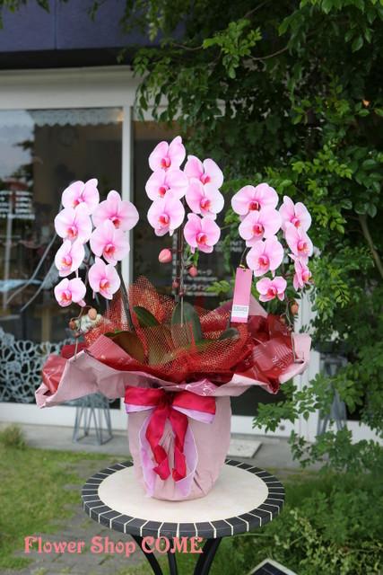 ピンク 胡蝶蘭 個性的
