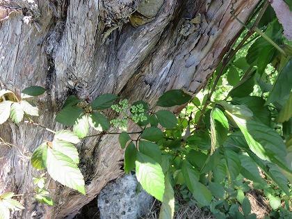 ヤブガラシの蔓