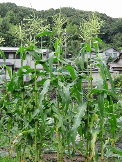 トウモロコシ (2)